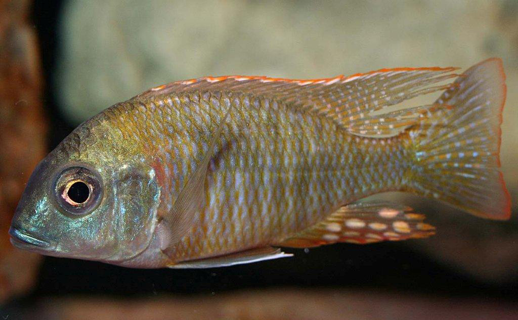 <i>Lethrinops</i>  sp. 'mdoka red'