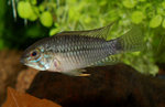 <i>Apistogramma commbrae</i>