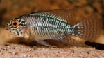 <i>Apistogramma</i> sp. 'steel blue'