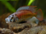 <i>Haplochromis</i> sp. 'red back scraper'