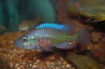 <i>Harpagochromis</i> sp. 'orange rock hunter'