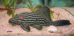 Royal pleco, royal panaque, L190