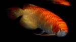 A_Dragon_Fish_B_Open_1_DSC_0746.jpg