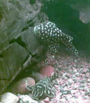 Baryancistrus sp. (L142/LDA33)  Big white spot pleco (snowball)
