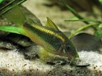 Corydoras sp. golden stripe