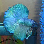 Betta Splendens - Halfmoon