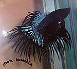 Crowntail male