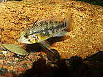 Apistogramma sp orange belly